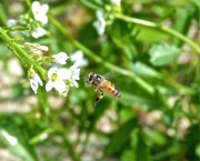 Abaco bees 9