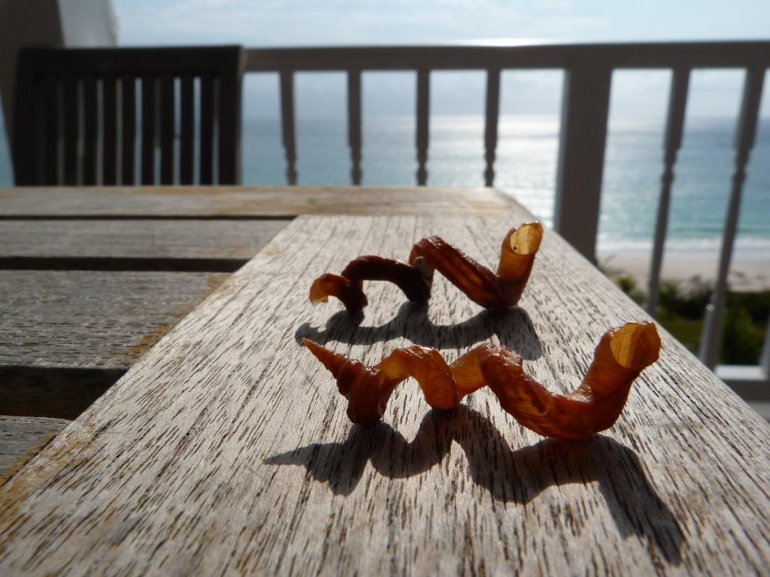 Abaco seashell 10
