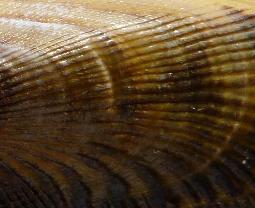 Abaco seashell 6b