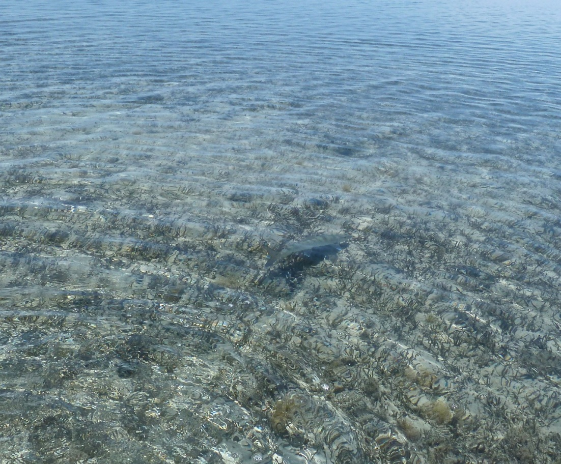 Adult Bonefish, The Marls, Abaco Bahamas