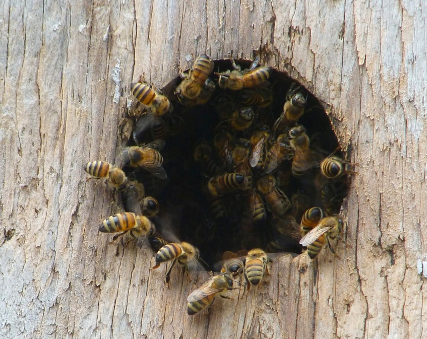 Bees in bird nest box 1