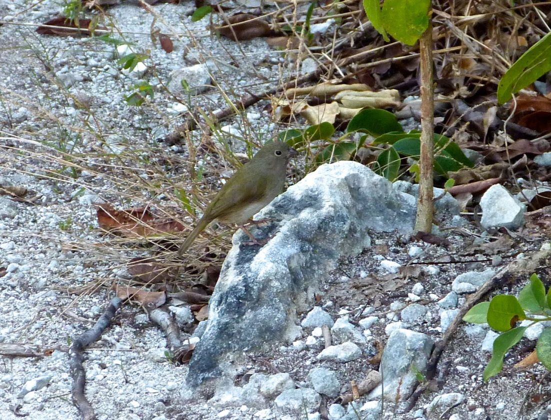 Black-faced Grassquit Abaco 1