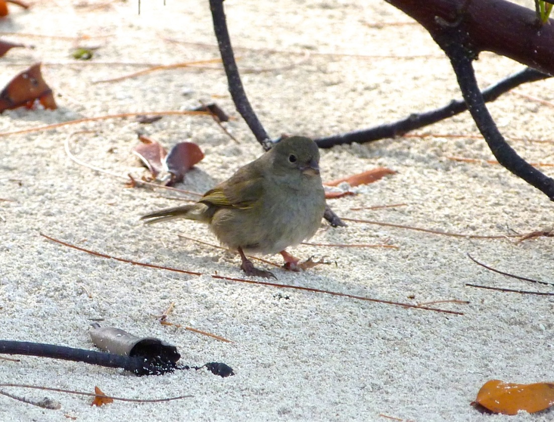 Black-faced Grassquit Abaco 3