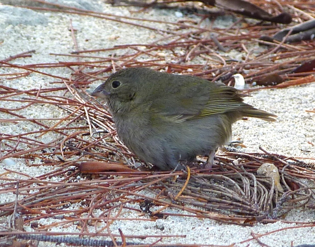 Black-faced Grassquit Abaco 4