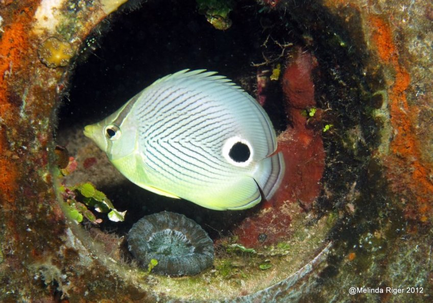 Four-eyed Butterflyfish ©Melinda Riger @GBS