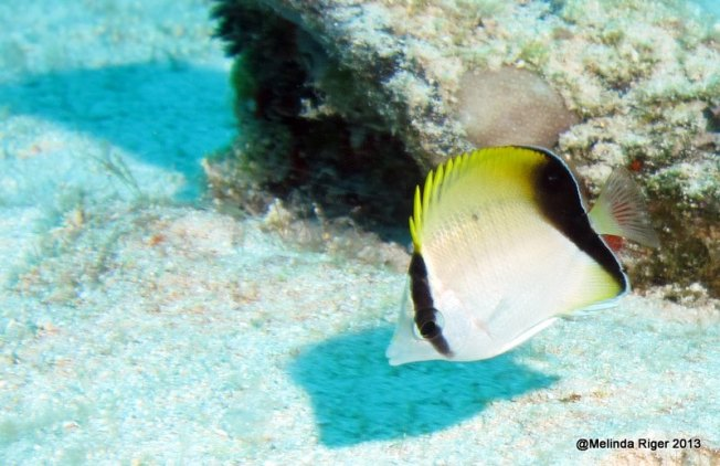 Reef Butterfly Fish ©Melinda Riger GB Scuba