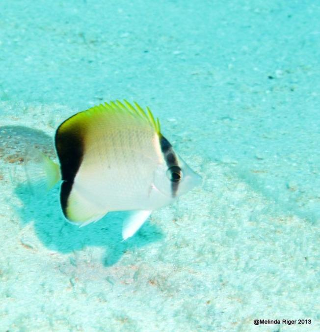 Reef Butterflyfish ©Melinda Riger @ GB Scuba