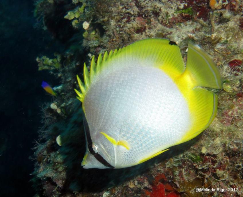 Spotfin Butterfly Fish 2