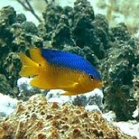 BEAUTIFUL DAMSELS: BAHAMAS REEF FISH (9)