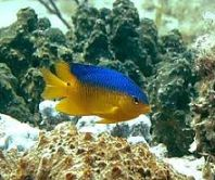 Cocoa_damselfish