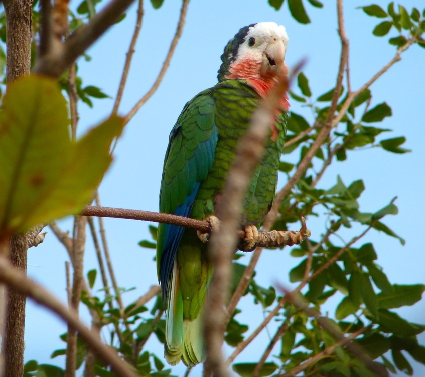 Abaco (Cuban) Parrot 2013 1