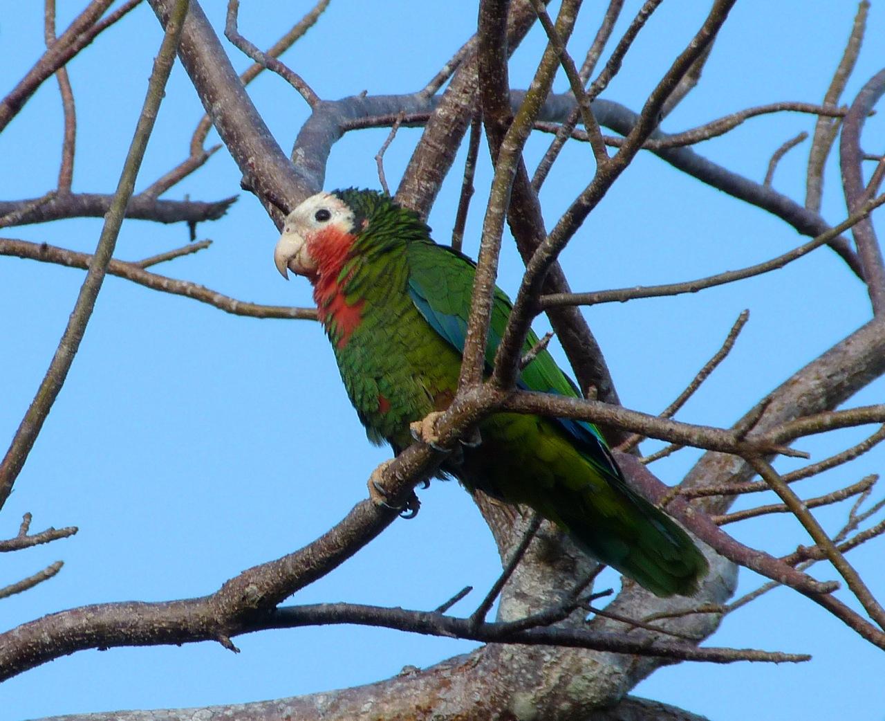 Abaco (Cuban) Parrot 2013 10