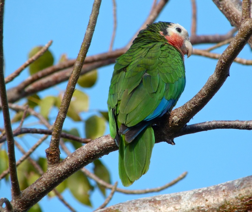 Abaco (Cuban) Parrot 2013 11