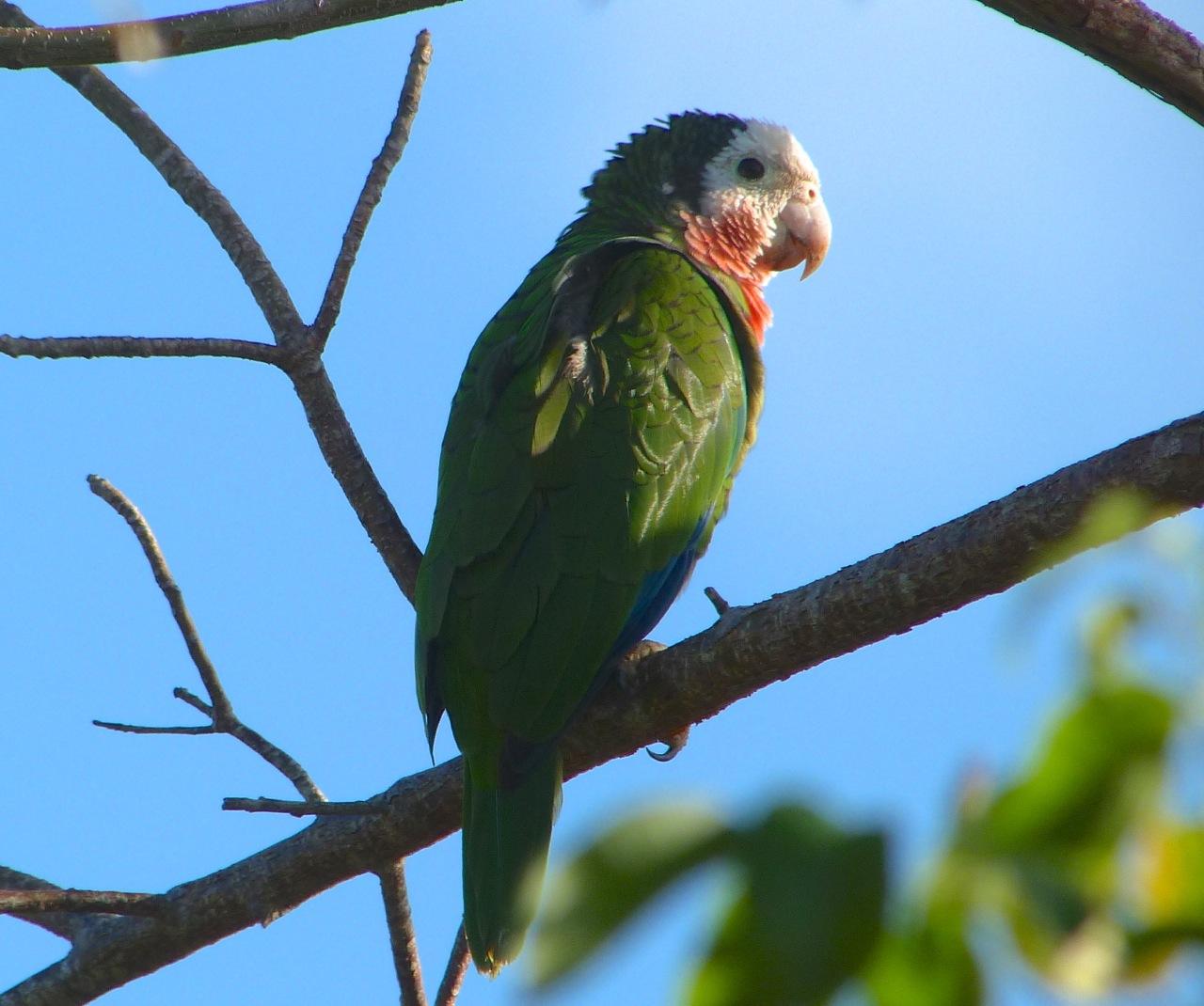 Abaco (Cuban) Parrot 2013 12