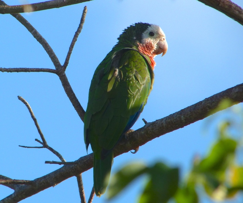 Abaco (Cuban) Parrot 2013 12