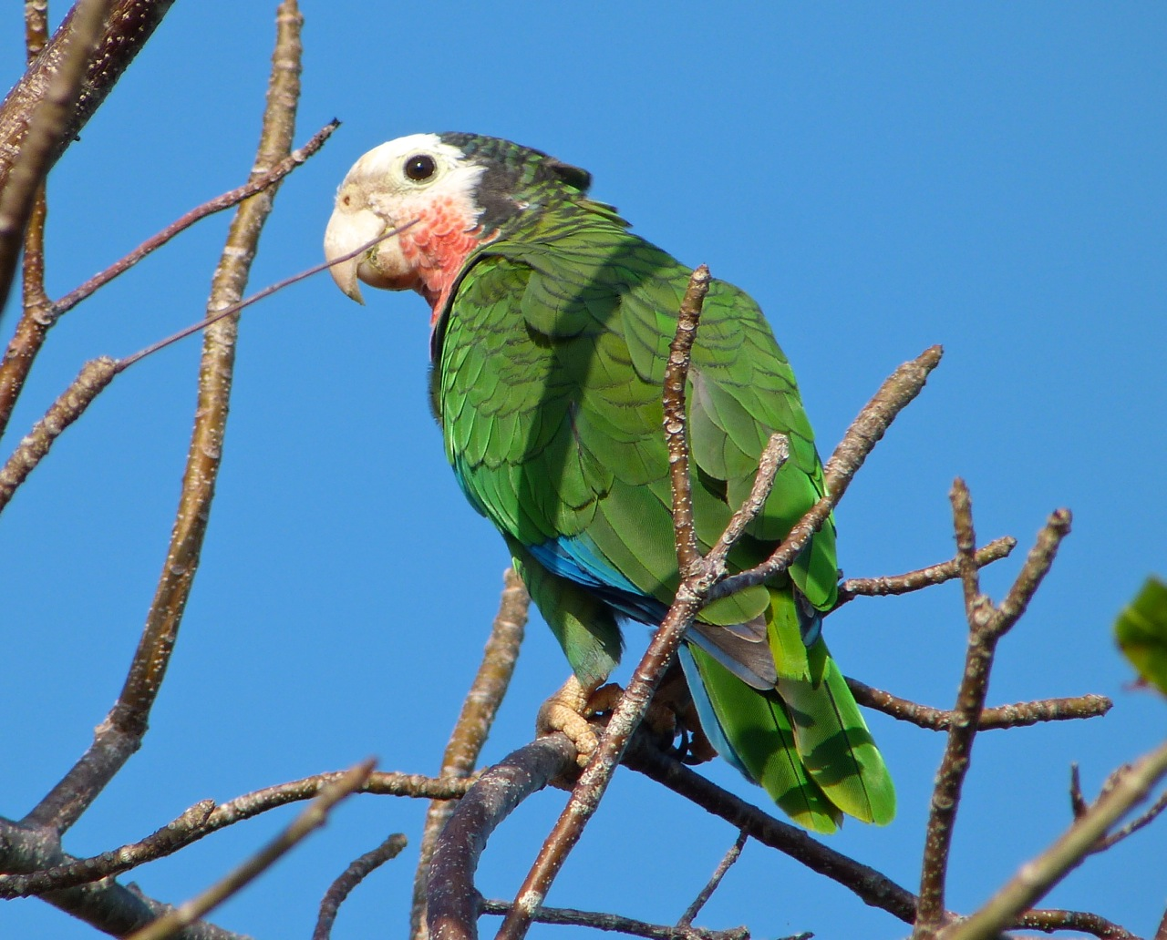 Abaco (Cuban) Parrot 2013 13