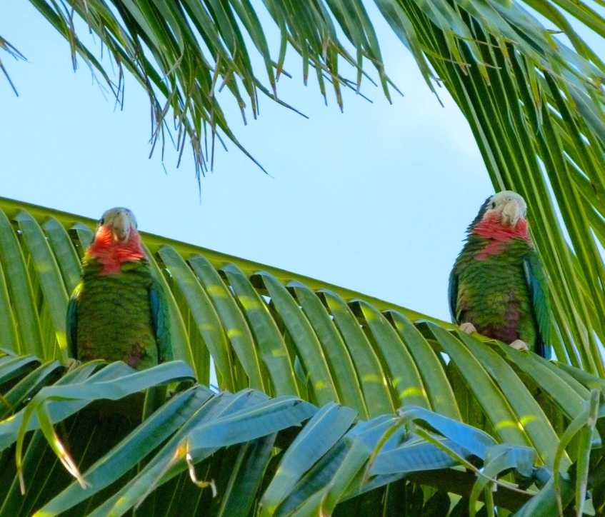Abaco (Cuban) Parrot 2013 14