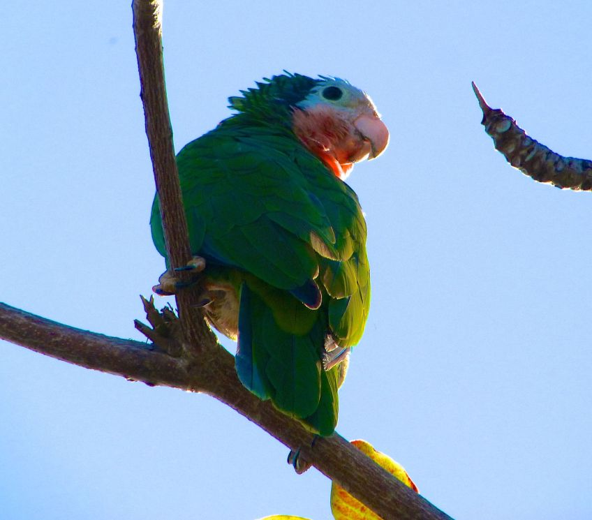 Abaco (Cuban) Parrot 2013 15
