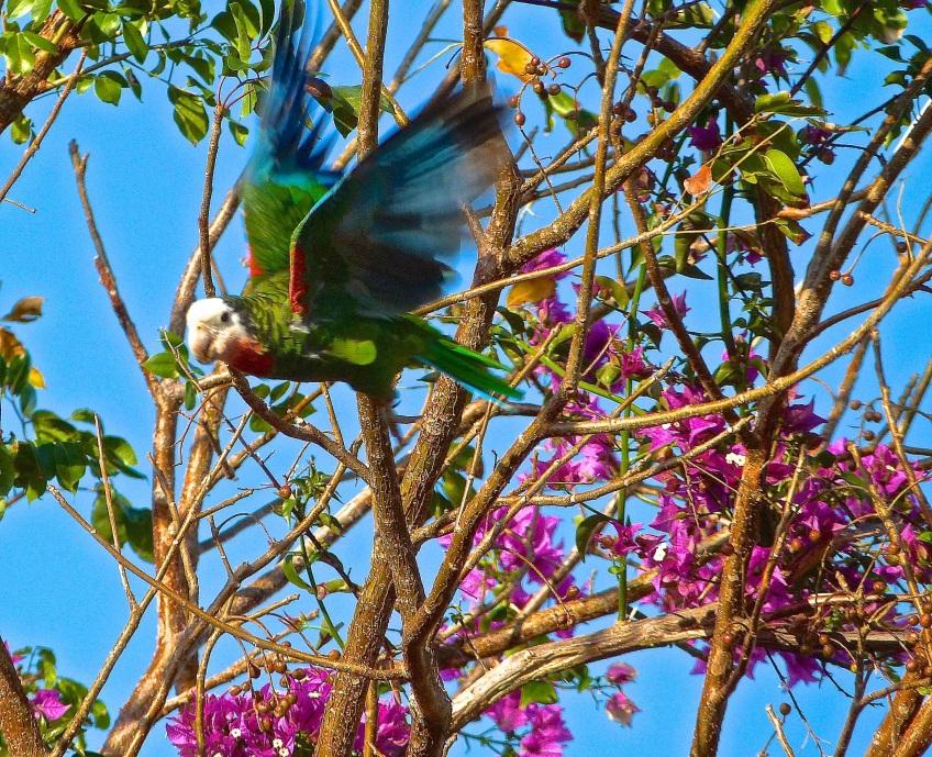 Abaco (Cuban) Parrot 2013 16B