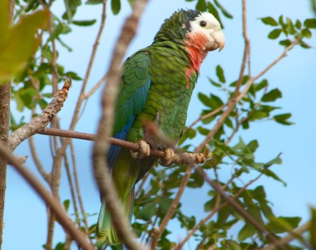 Abaco (Cuban) Parrot 2013 (Keith Salvesen)