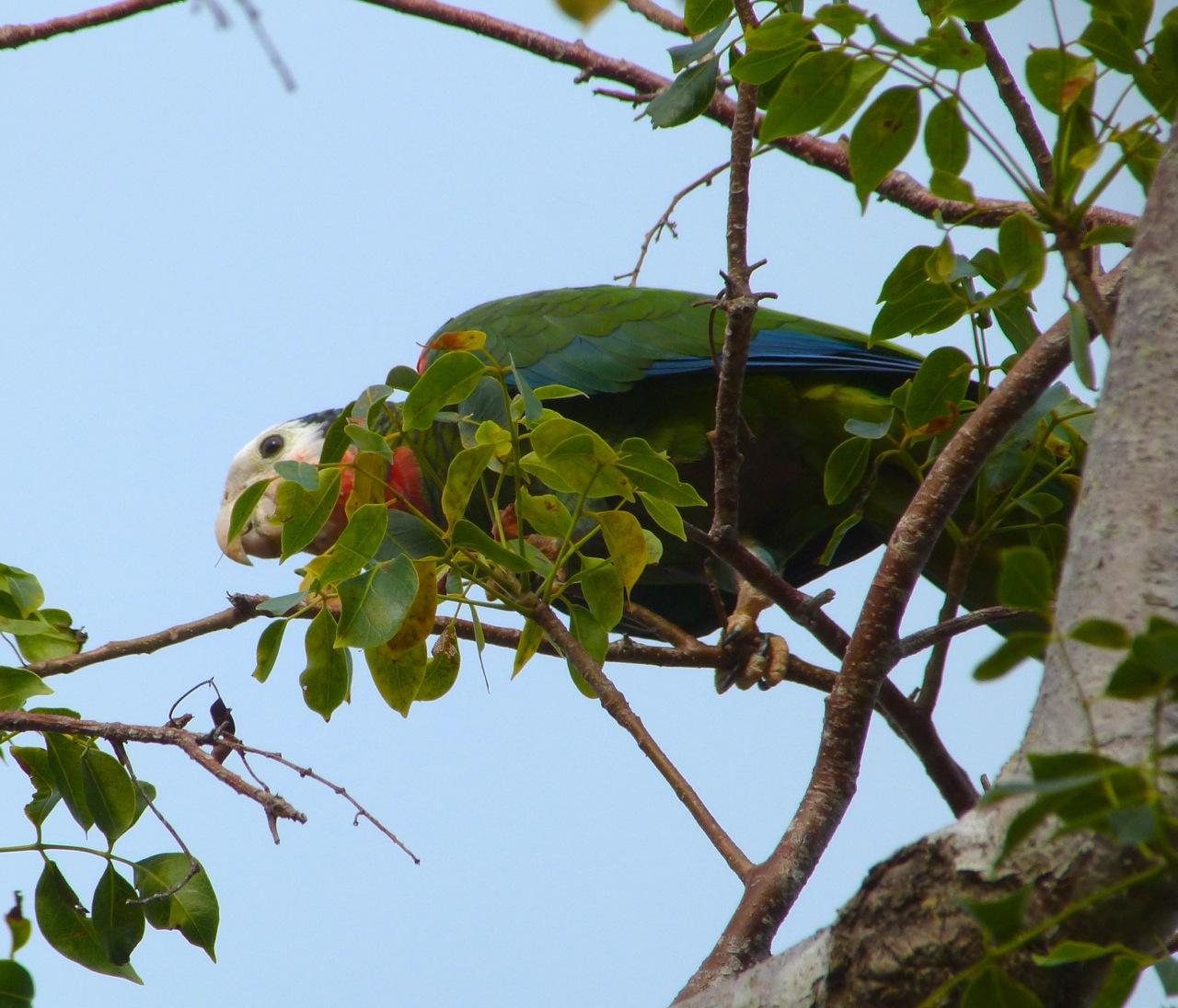 Abaco (Cuban) Parrot 2013 5