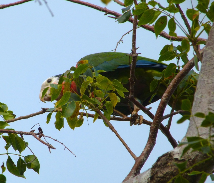 Abaco (Cuban) Parrot 2013 5