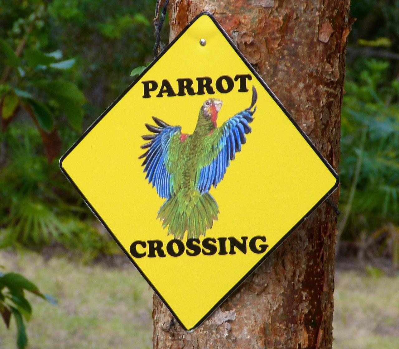Abaco (Cuban) Parrot 2013 7