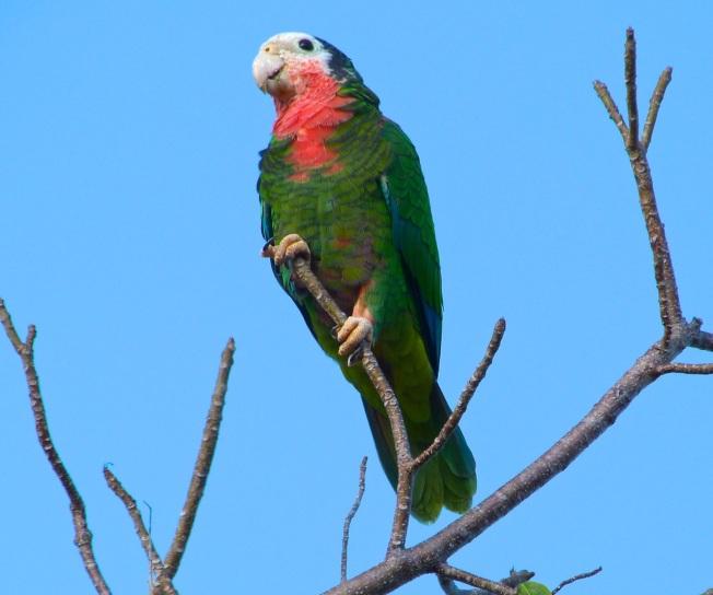 Abaco (Cuban) Parrot, Bahama Palm Shores (Keith Salvesen)
