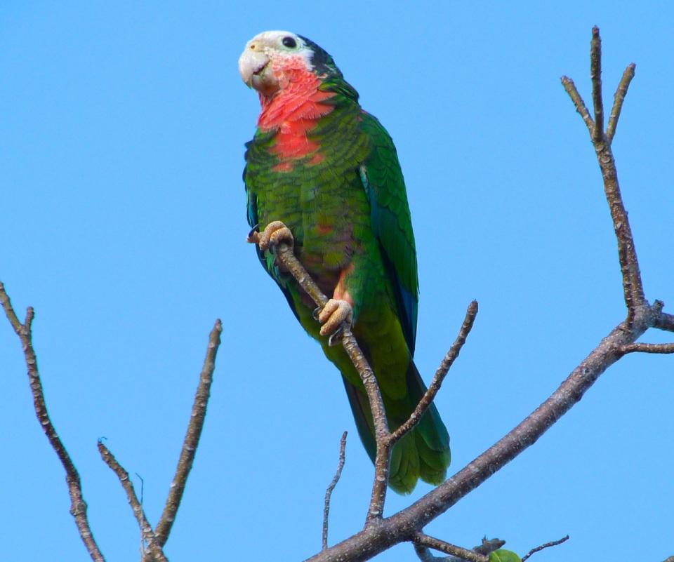 Abaco (Cuban) Parrot, Abaco, Bahamas  (Keith Salvesen)