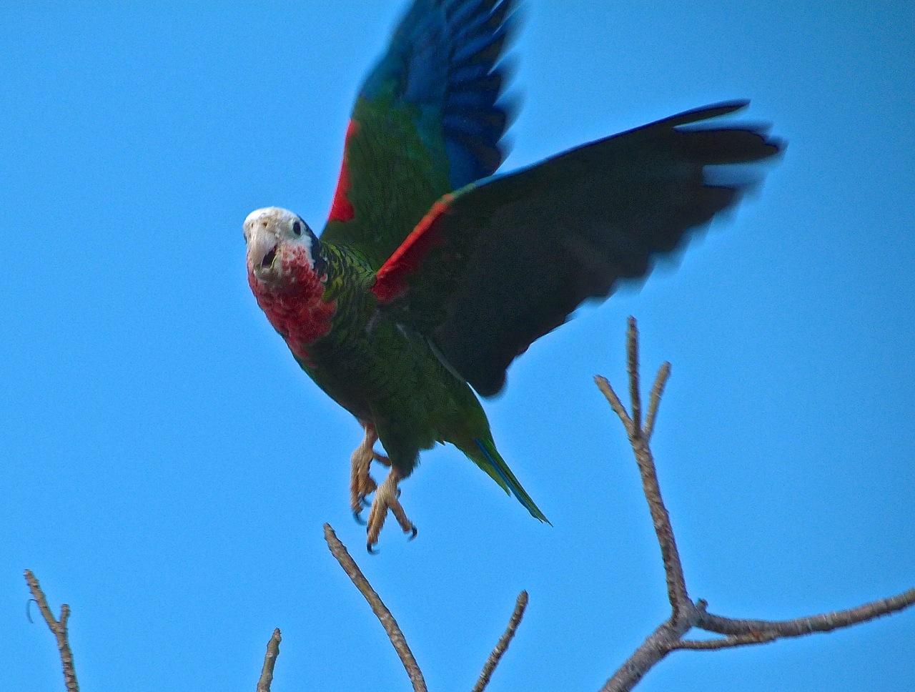 Abaco (Cuban) Parrot 2013 9