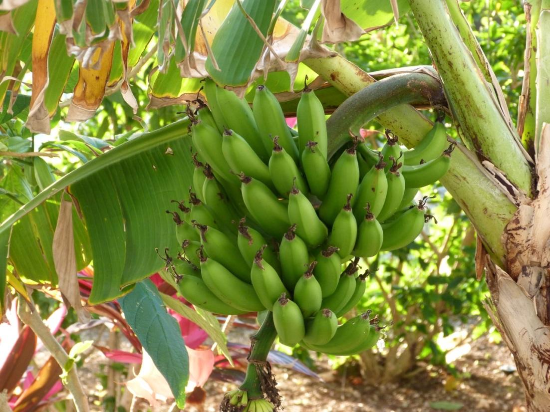 Bananas, Delphi Abaco