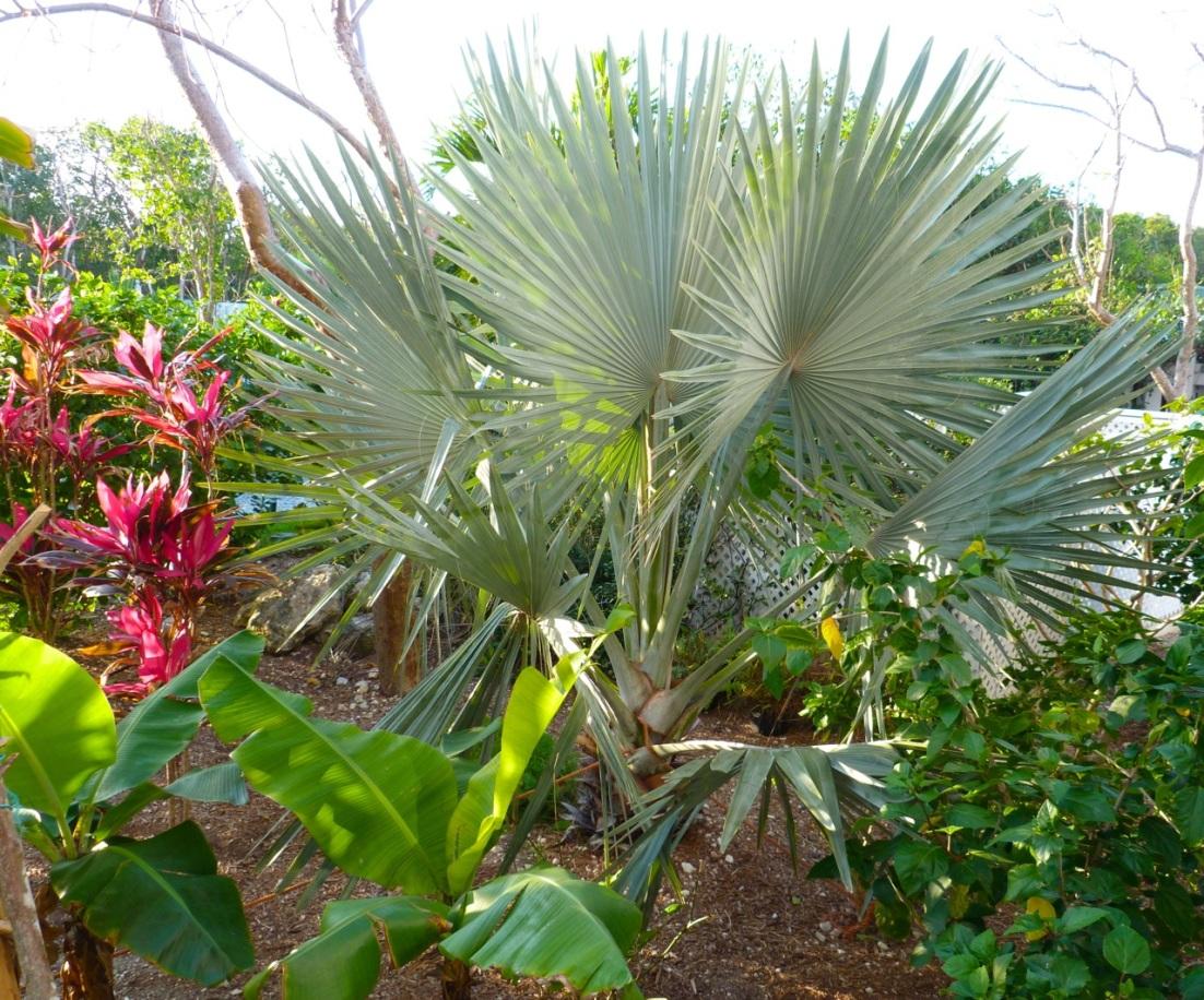 Bismarck Palm, Delphi Abaco