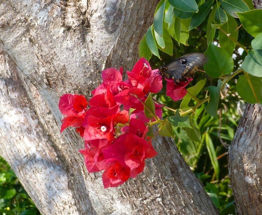 Bougainvillea : Polydamus Swallowtail, Delphi Abaco