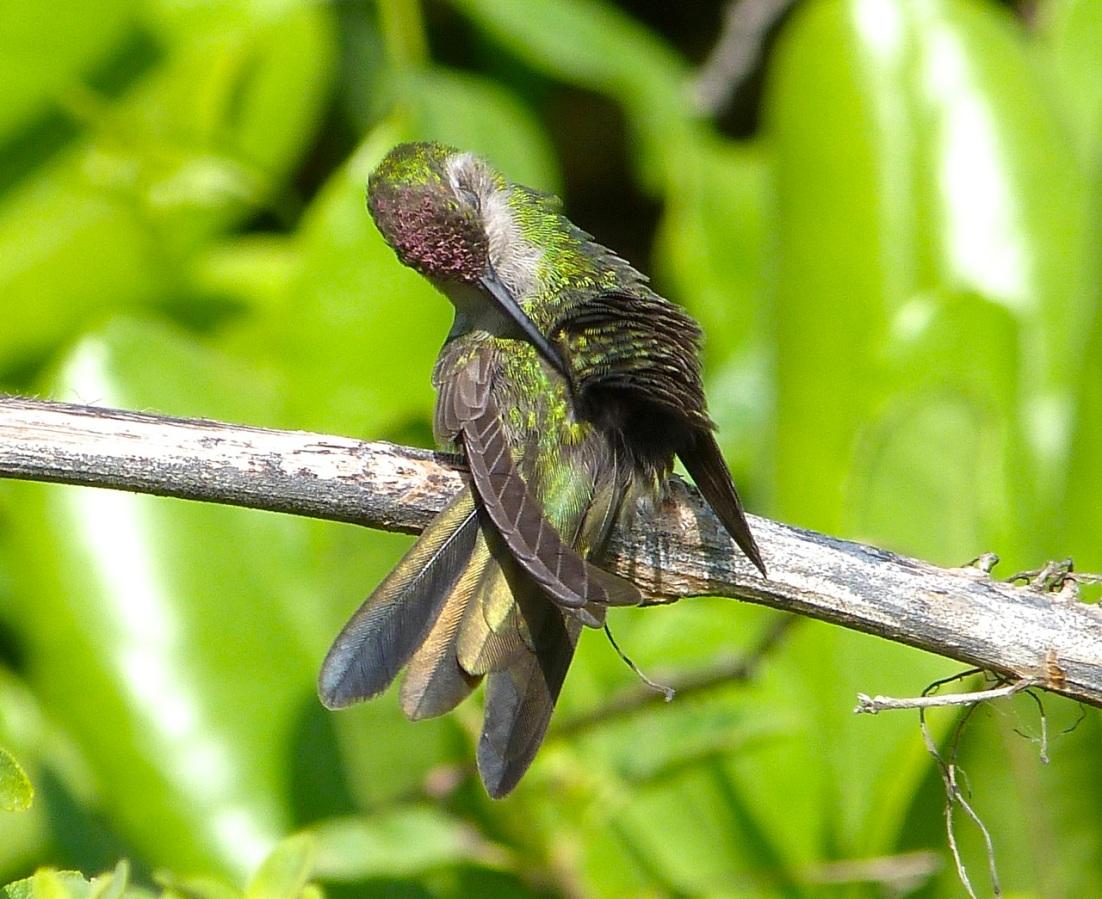 Cuban Emerald Hummingbird preening, Abaco 1