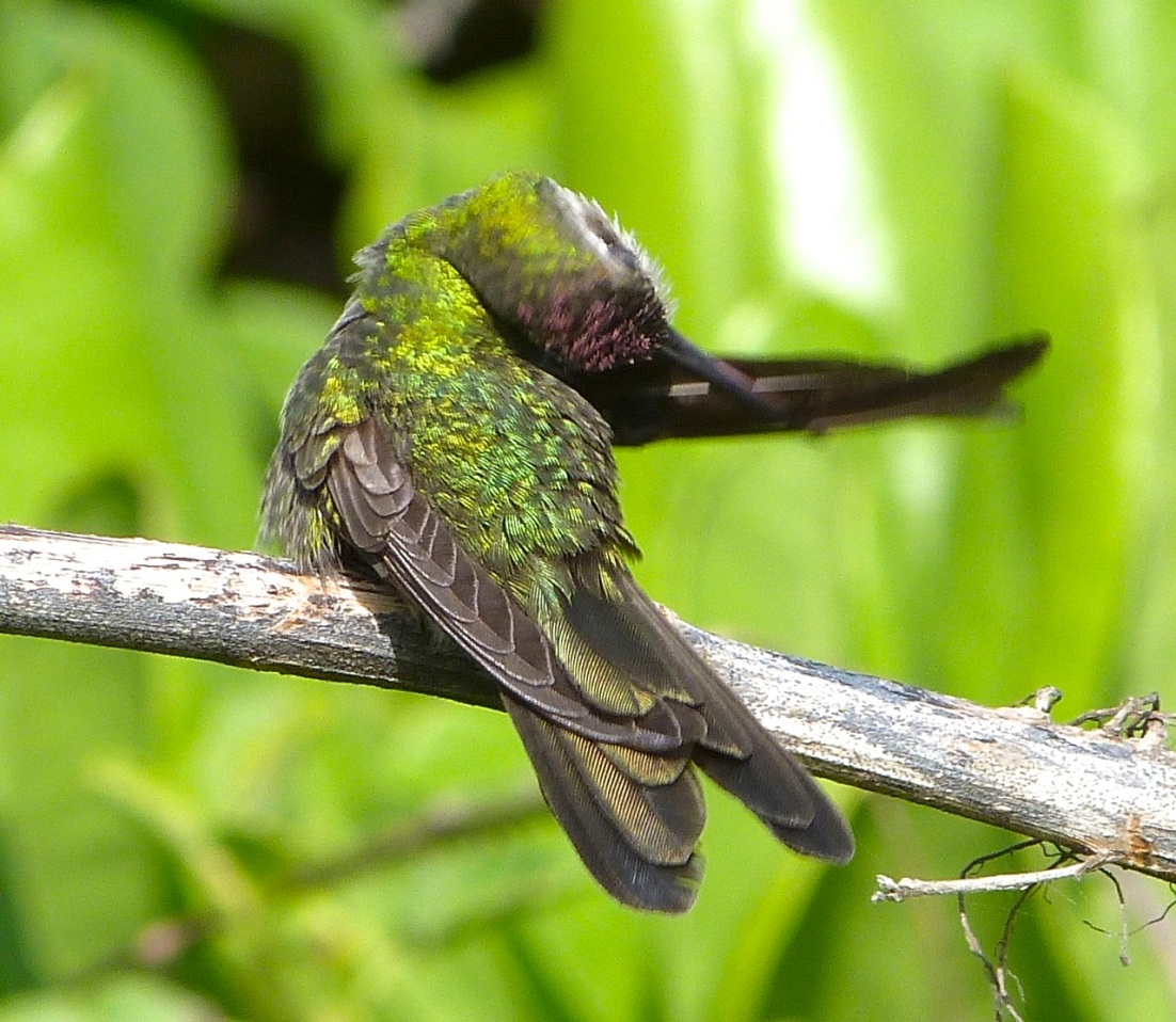 Cuban Emerald Hummingbird preening, Abaco 4