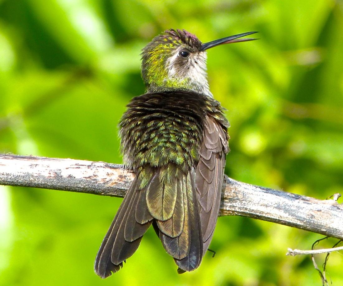 Cuban Emerald Hummingbird preening, Abaco 6