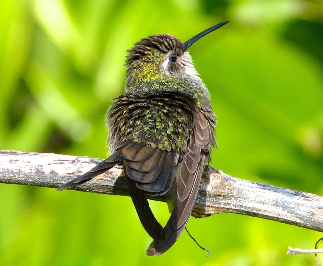 Cuban Emerald Hummingbird preening, Abaco 7a