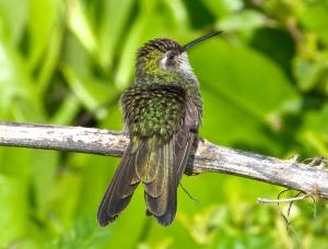 Cuban Emerald Hummingbird preening, Abaco 8