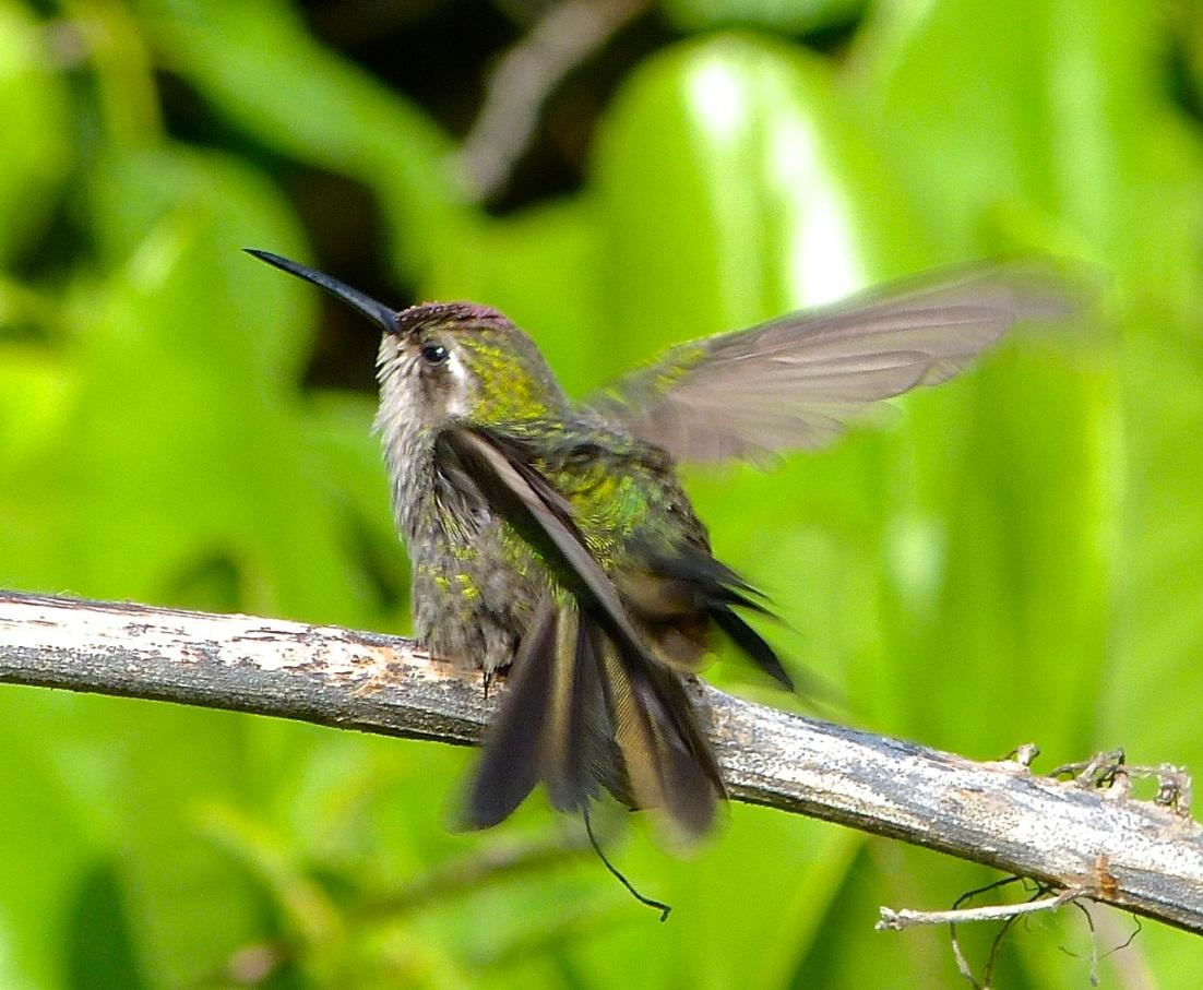Cuban Emerald Hummingbird preening, Abaco