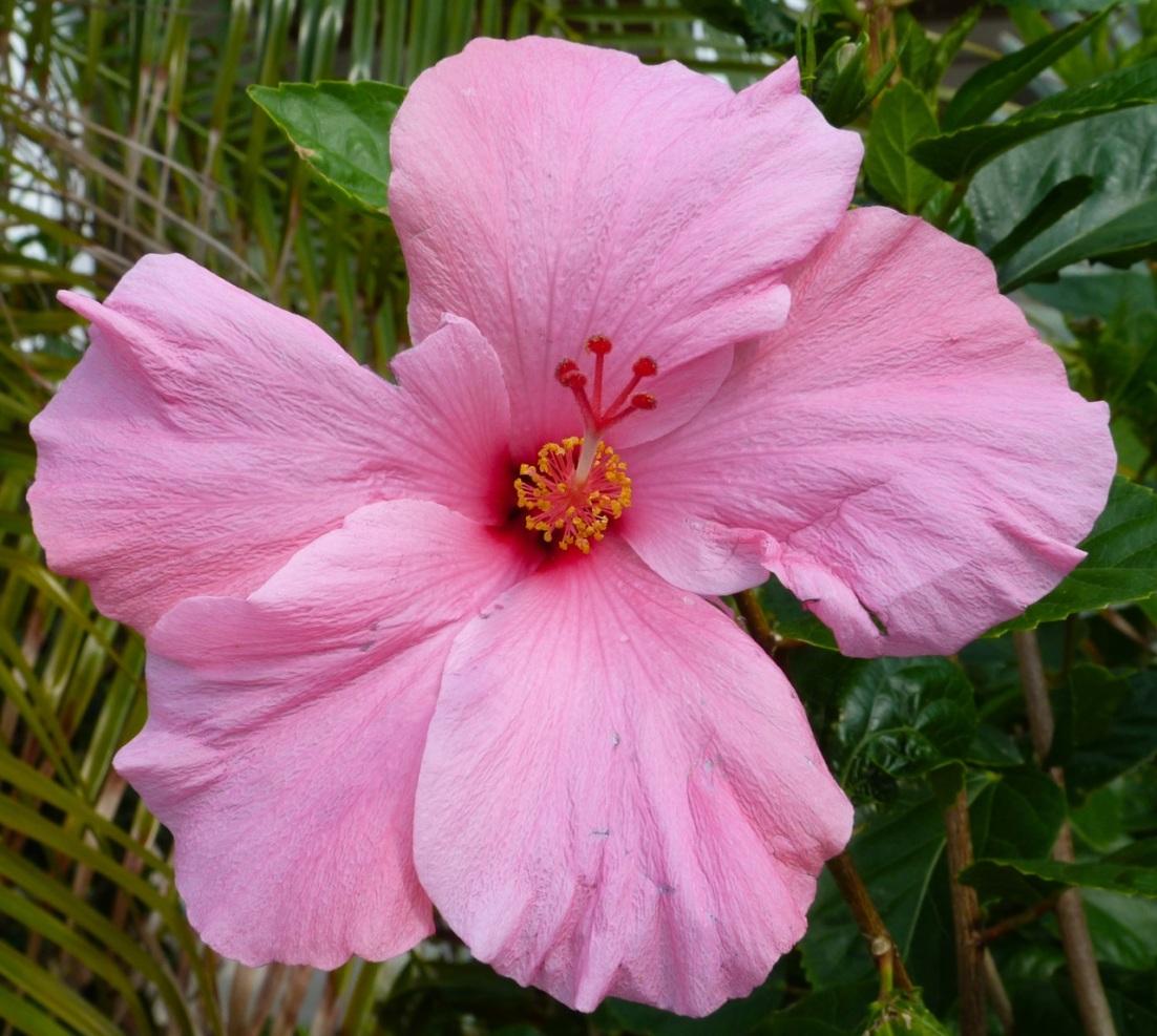 Hibiscus Delphi Abaco 1