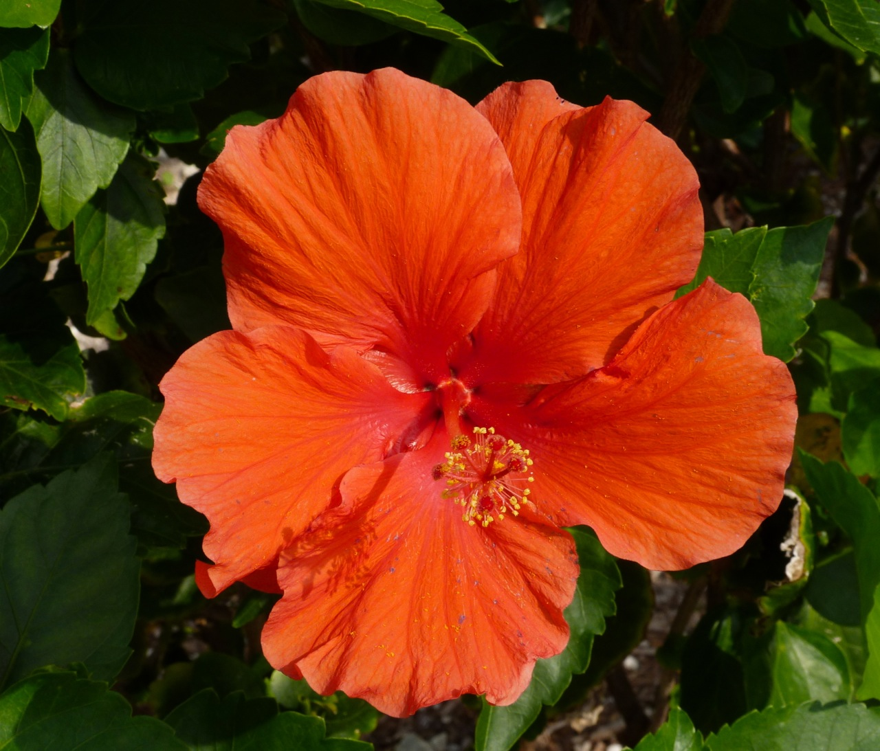 Red Hibiscus Flower, Abaco, Bahamas (Keith Salvesen / Rolling Harbour Abaco)
