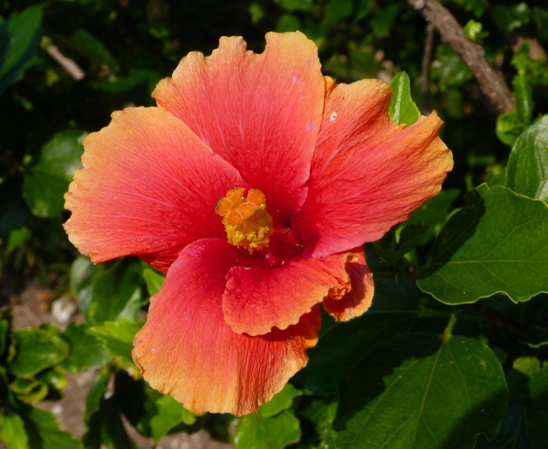 Hibiscus Delphi Abaco 4