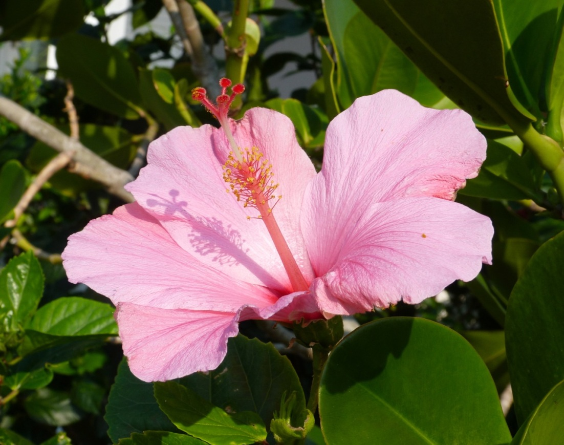 Hibiscus Delphi Abaco 5