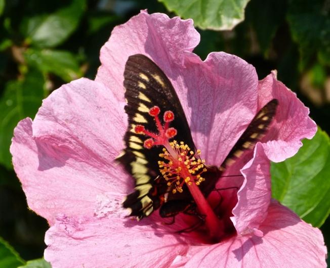 Hibiscus / Polydamus Swallowtail, Delphi Abaco (Keith Salvesen)