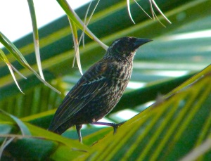 Red-winged Blackbird Abaco 3