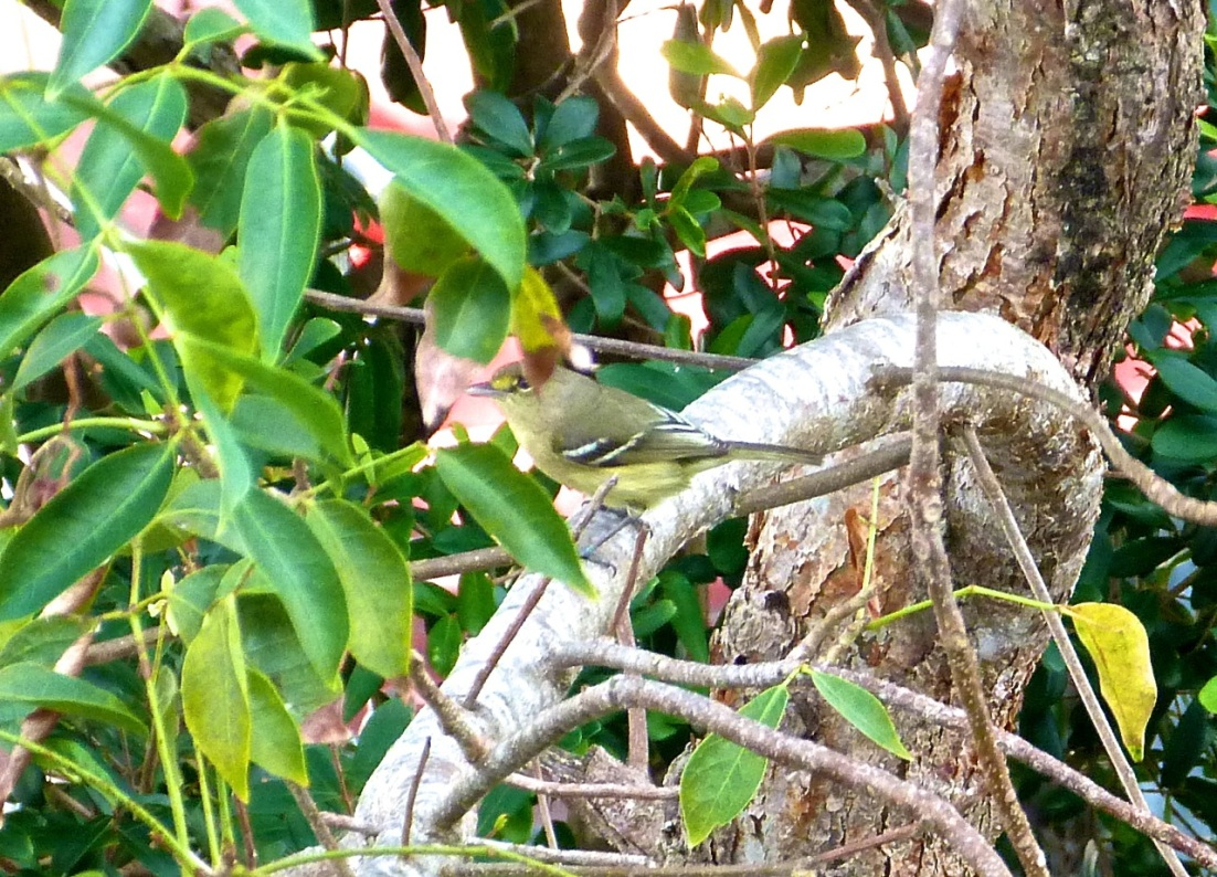 Thick-billed Vireo, Abaco