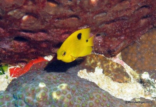 Three spot damselfish - photo#25