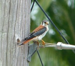 American Kestrel Abaco - Sandy Point - Keith Salvesen