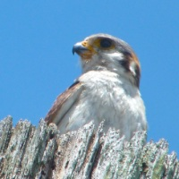AMERICAN KESTRELS IN SANDY POINT, ABACO, BAHAMAS