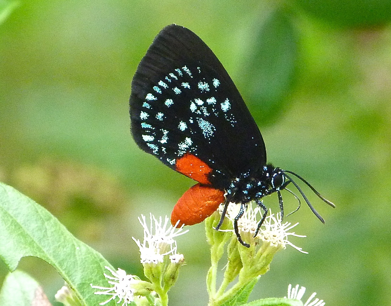 Atala Hairstreak Butterfly, Abaco, Bahamas (Keith Salvesen)